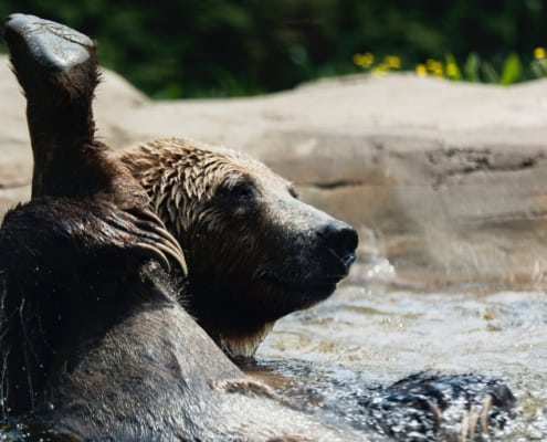 bear sitting in river with his leg raised all the way up, exposing his butt